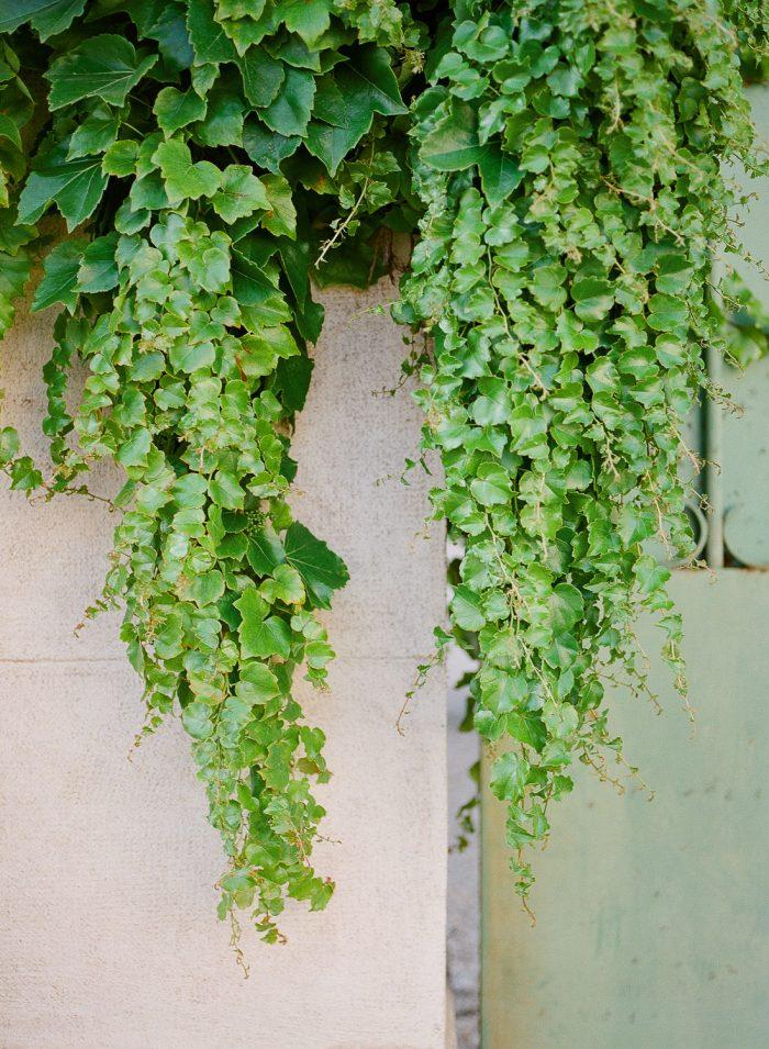 Meursault Village Ivy Burgundy France